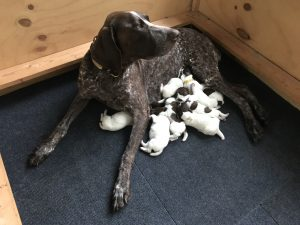 2017 German Shorthaired Pointers Litter