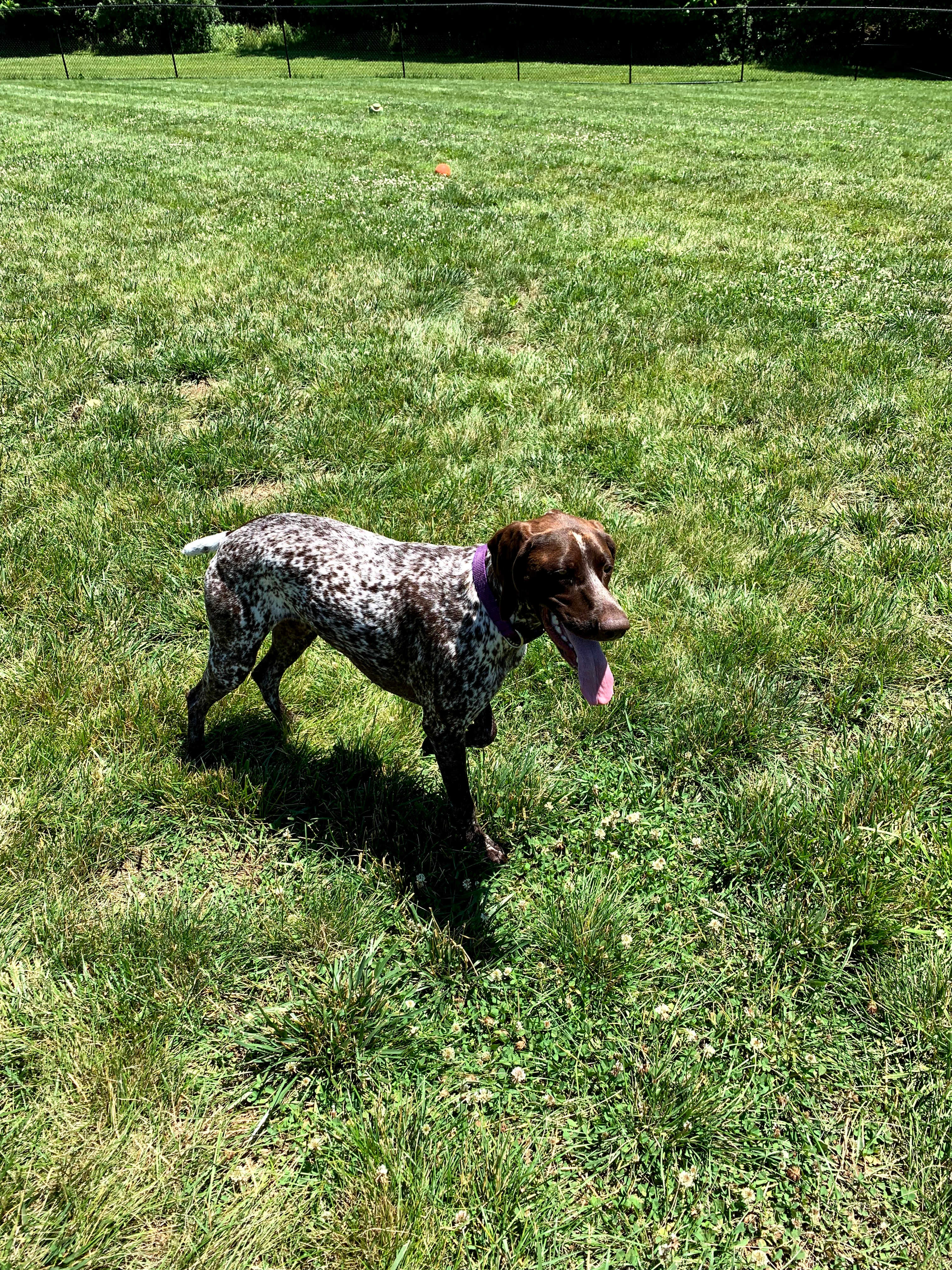 german-shorthaired-pointers-IMG_1361